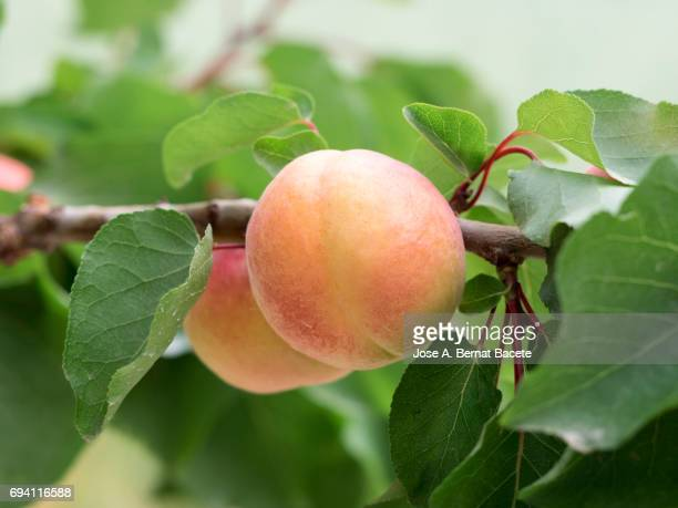 Close up of apricots on tree, Spain
