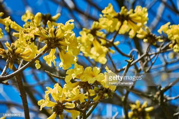 close up of araguaney tree flowers - ハンドロアンサス属 ストックフォトと画像
