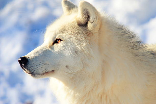 Close up of arctic wolf