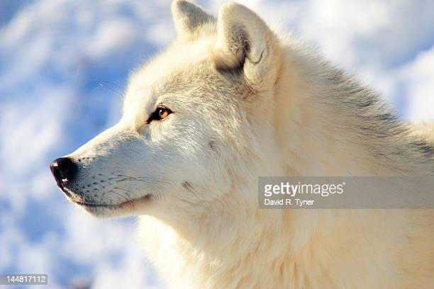 close up of arctic wolf - arctic wolf stock photos and pictures