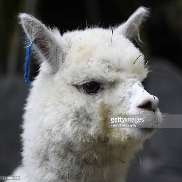 Close up of baby Alpaca