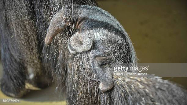 close up of baby giant anteater with her mother. myrmecophaga tridactyla - anteater stock pictures, royalty-free photos & images