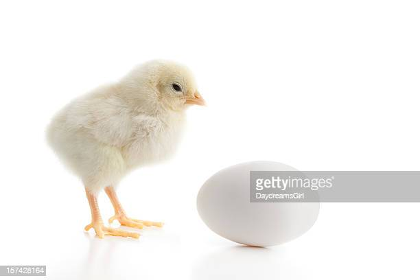 Close Up of Baby Yellow Chicken Looking at Egg Isolated
