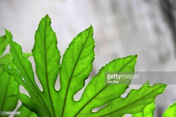 close up of backlit leaf showing leaf veins against gray background - estampa de folha - fotografias e filmes do acervo