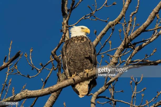 close up of bald eagle perched on a limb - membro - fotografias e filmes do acervo