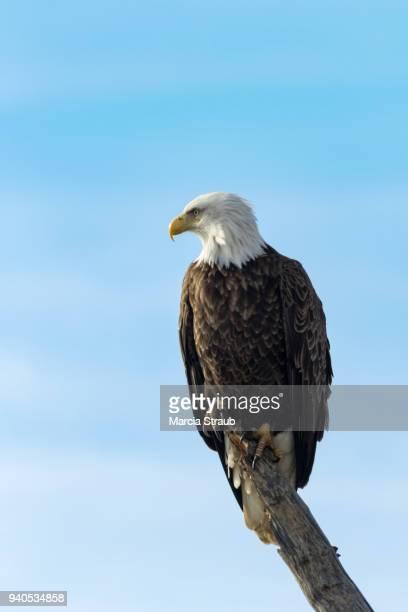 Close up of Bald Eagle Perched on a Limb