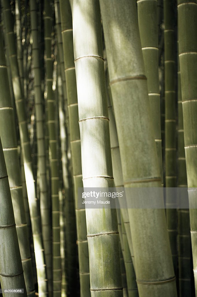 Close Up of Bamboo, Japan : Stock Photo