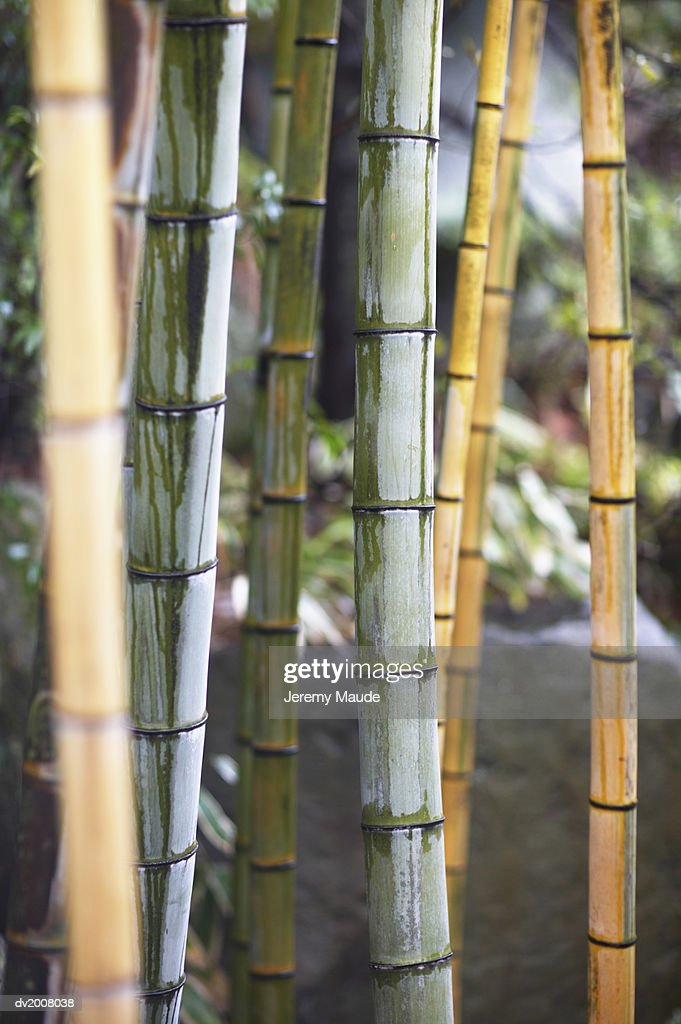 Close up of Bamboo : Stock Photo