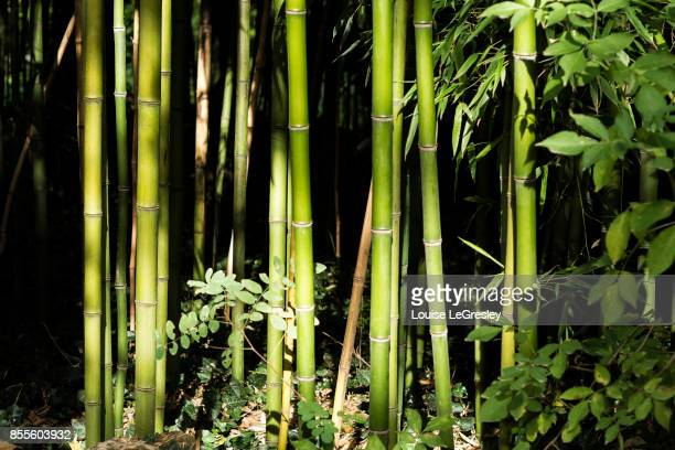 Close up of bamboo trees in the late afternoon sun