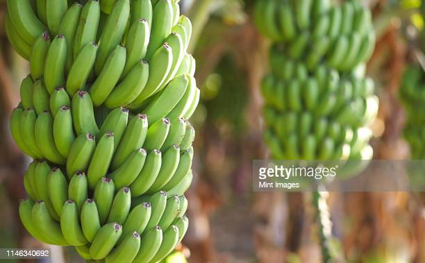 close up of bananas growing on tree - banana tree stock pictures, royalty-free photos & images