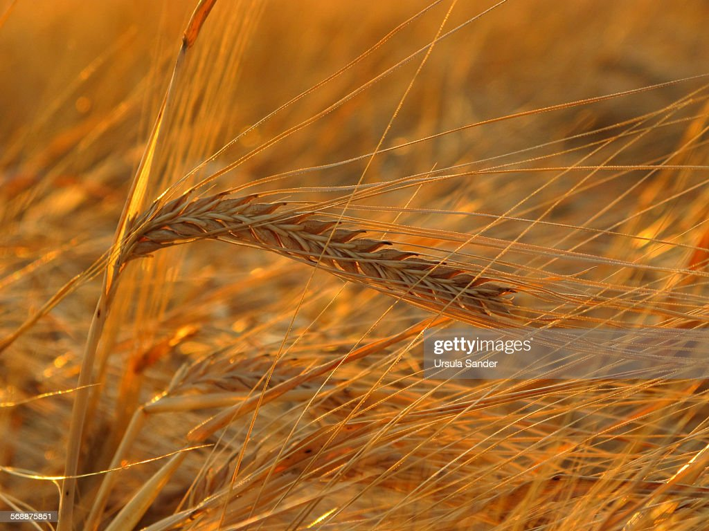 Close up of barley (Hordeum vulgare) during sunset : Stock-Foto