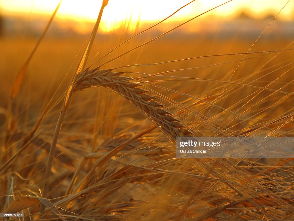 Close up of barley (Hordeum vulgare) during sunset : Stock Photo