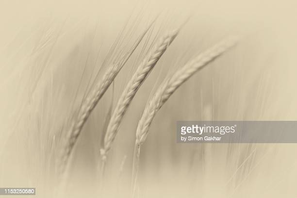close up of barley - resilience stock photos and pictures