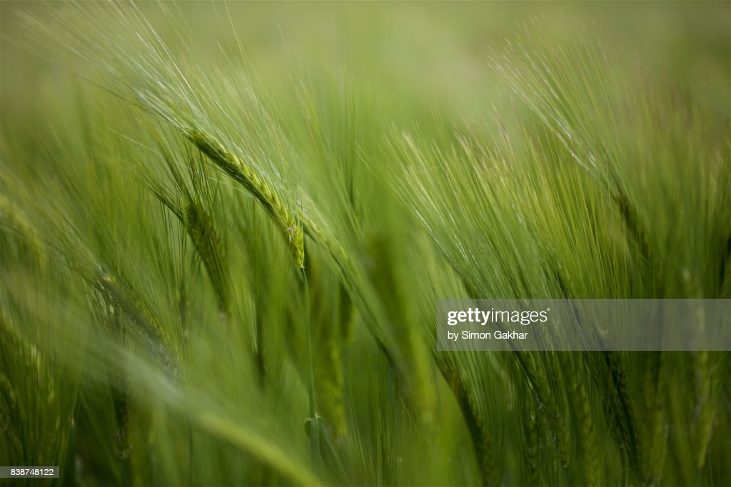 Close up of Barley : Stock Photo