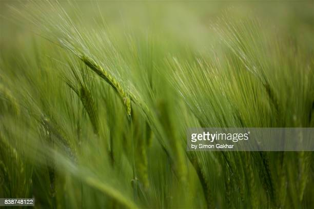 close up of barley - crop plant stock photos and pictures