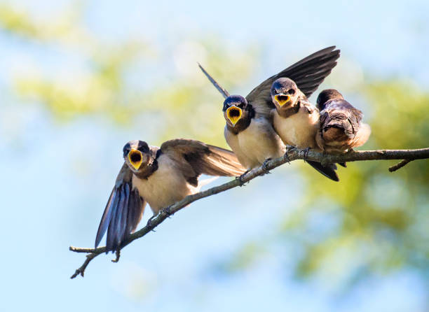 Close Up Barn Swallow Chicks - Fine Art prints