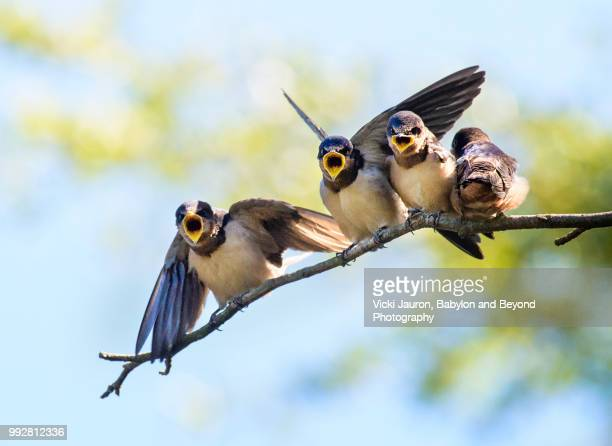 close up of barn swallow chicks looking for food - fågel bildbanksfoton och bilder