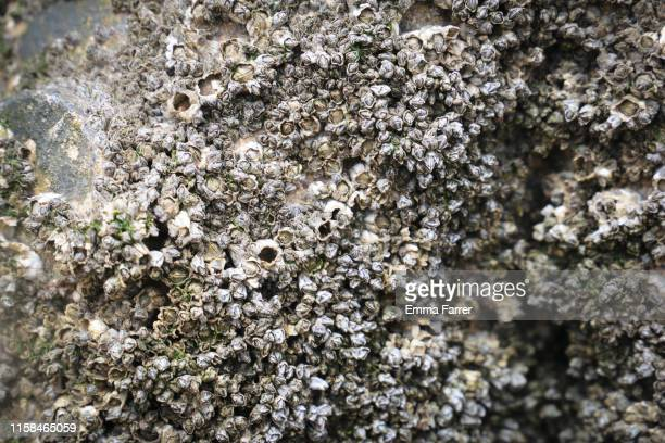 close up of barnacles - barnacle stock pictures, royalty-free photos & images