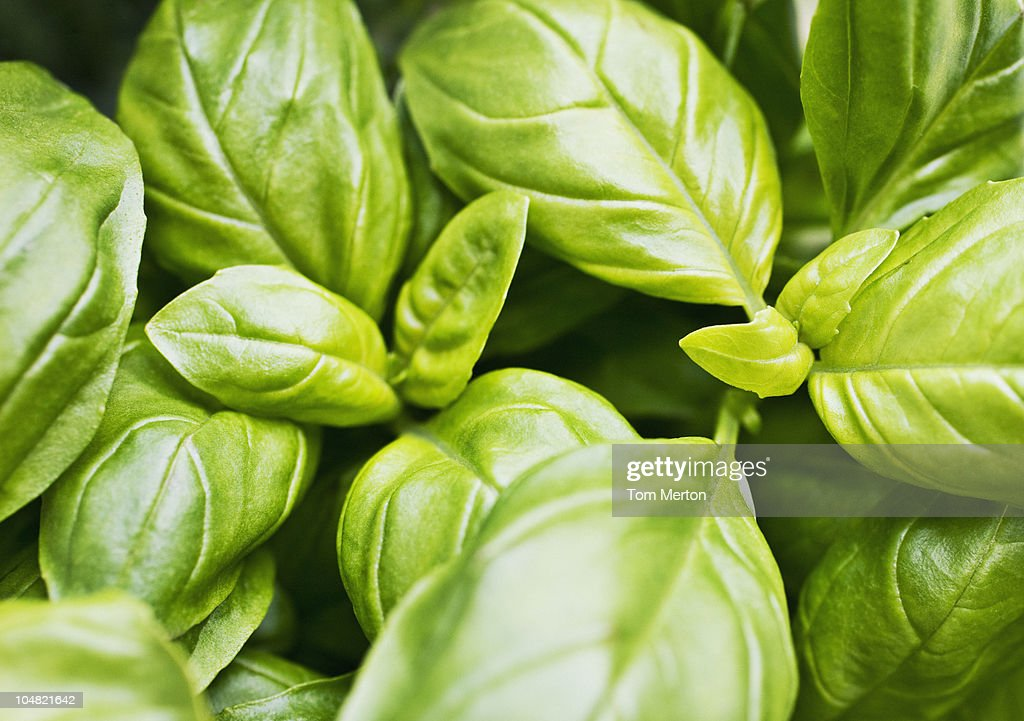Close up of basil leaves : Stock Photo