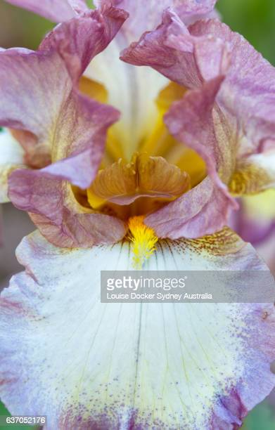 close up of beard of pink and white bearded iris - bearded iris stock photos and pictures