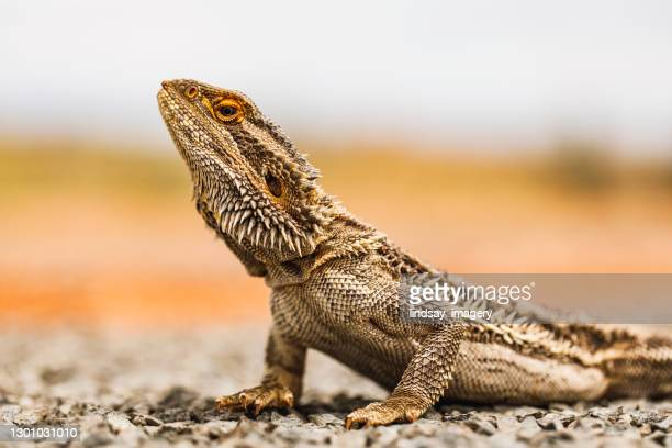 close up of bearded dragon lizard reptile laying on road in outback australia - bearded dragon stock pictures, royalty-free photos & images