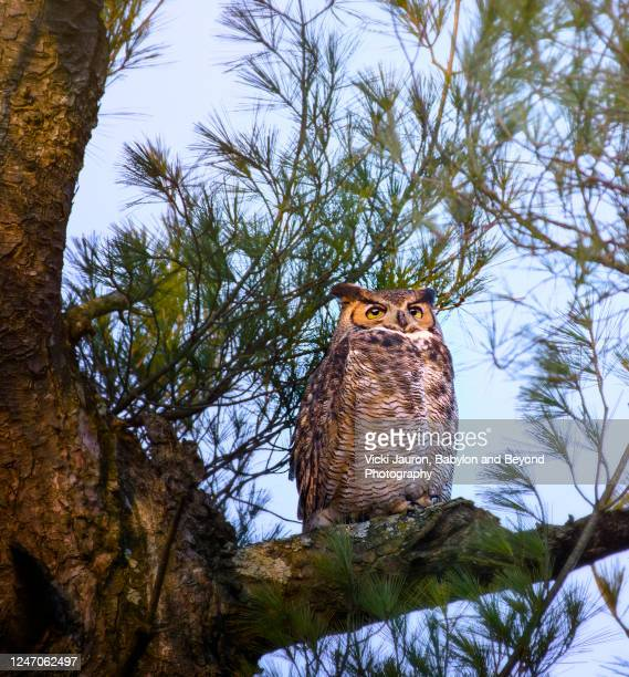 close up of beautiful great horned owl in early morning - great horned owl stock pictures, royalty-free photos & images