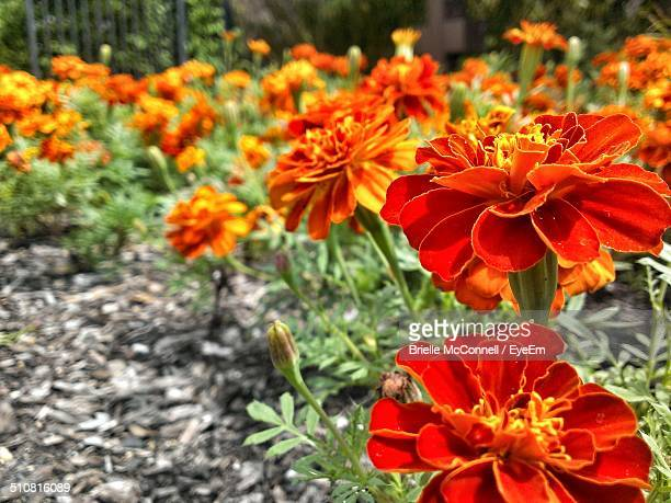 close up of beautiful marigold flowers - mcconnell stock pictures, royalty-free photos & images