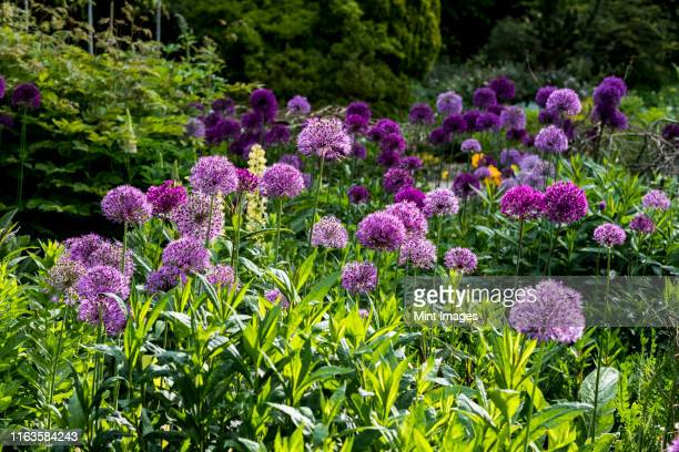 close up of bed pink and purple alliums with lush green foliage. - allium flower stock pictures, royalty-free photos & images