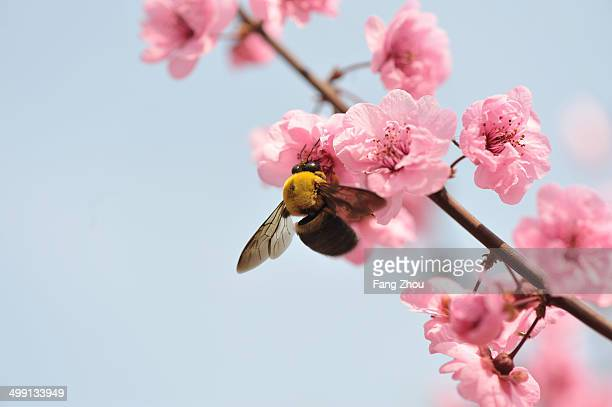 close up of bee feeding on peach blossom - peach blossom stock pictures, royalty-free photos & images