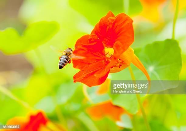 Close up of bee landing on nasturtium flower, (tropaeolum)