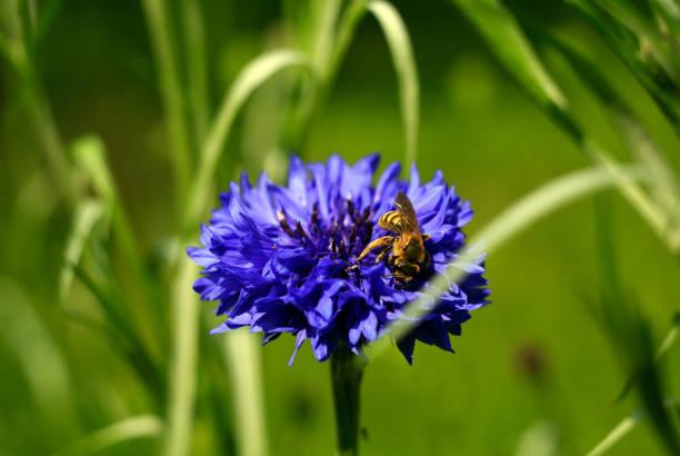 Close up of bee on blue flower, Litoměřice, Czech Republic