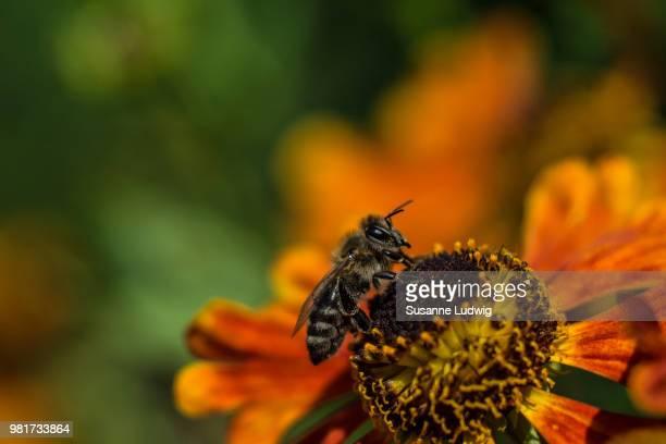 Close- up of bee (Anthophila) pollinating sneezeweed (Helenium)