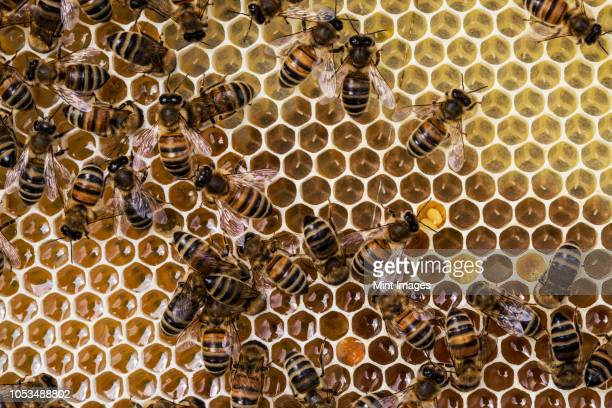close up of bees and honeycomb in wooden beehive. - beehive stock pictures, royalty-free photos & images