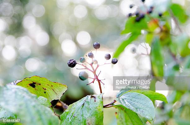 close up of berries on branch - roman pretot stockfoto's en -beelden