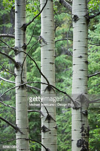 Close Up Of Birch Tree Trunks In A Forest Stock Photo ...