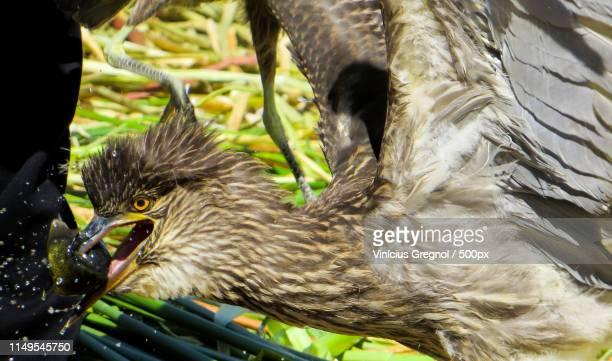 close up of bird holding fish in beak - gregnol fotografías e imágenes de stock
