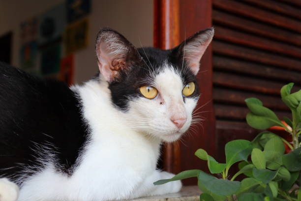 Close up of black and white cat with yellow eyes lying on windowsill, Fortaleza, Ceara, Brazil