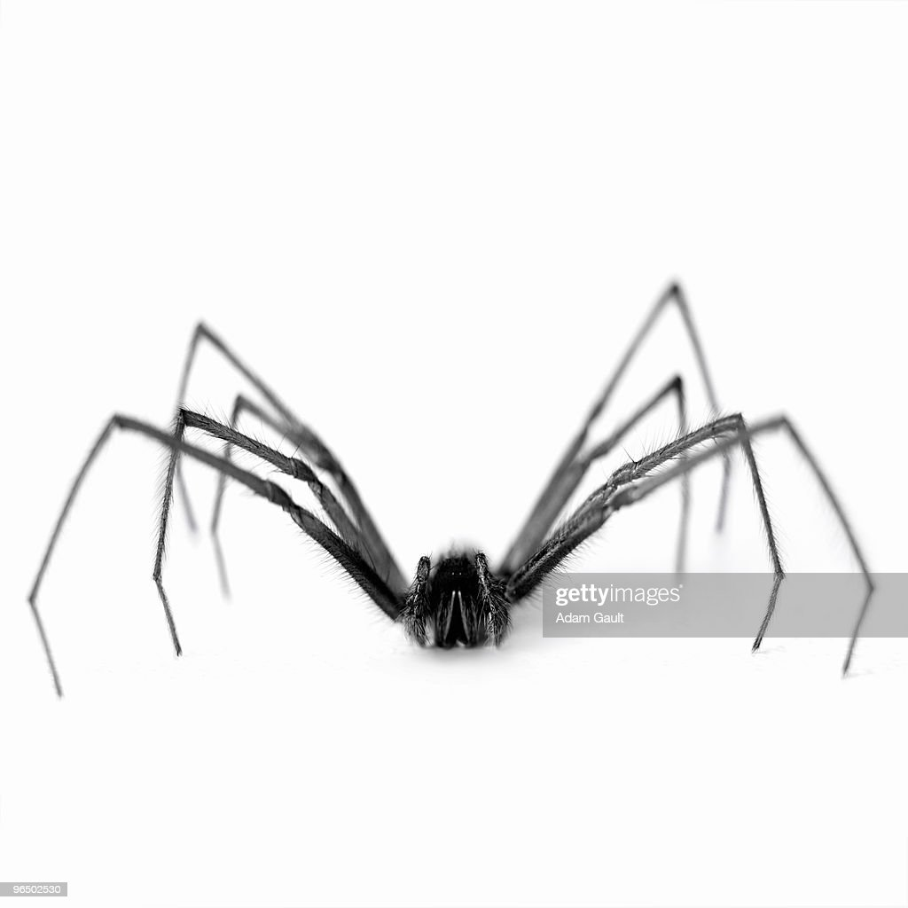 Close up of black and white spider : Stock Photo