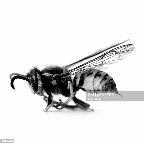 Close up of black and white wasp