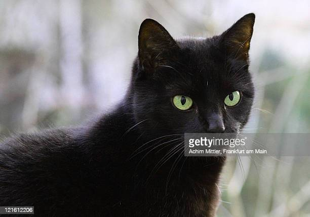 close up of black cat - green eyes stock pictures, royalty-free photos & images