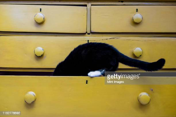 close up of black cat with white paw in drawer of a yellow chest of drawers. - gatto nero foto e immagini stock