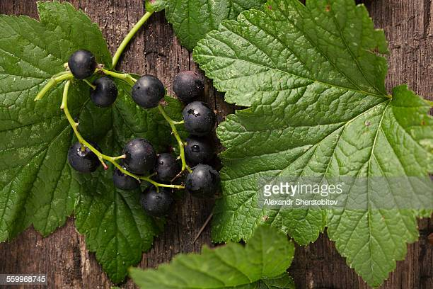 Close up of black currant branch