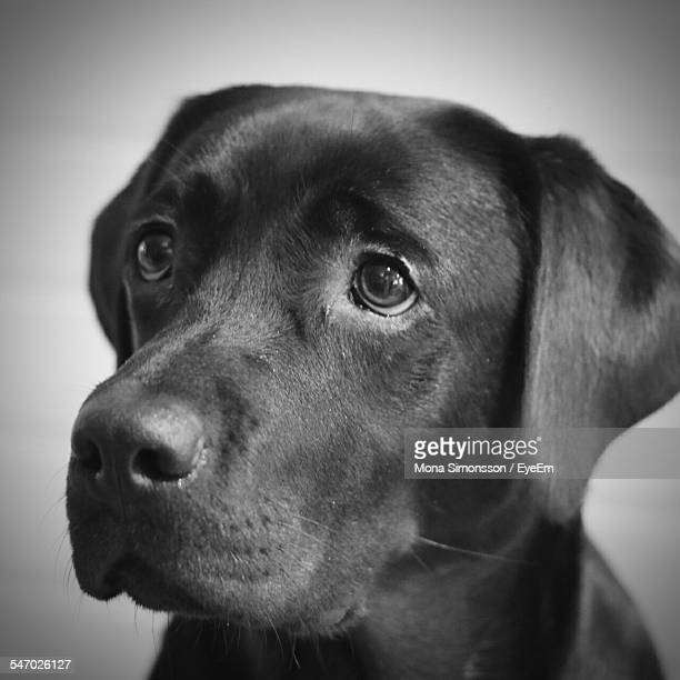 Close Up Of Black Labrador