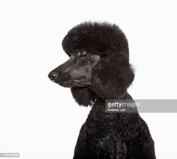 Close up of black poodle's face