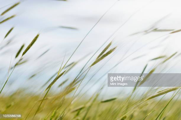 close up of blades of wheat grass - wind stockfoto's en -beelden