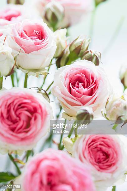 Close up of blooming pink roses
