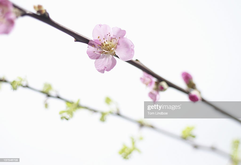 Close up of blossom on tree branch : Stock Photo