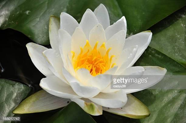クローズアップの白いスイレンの花
