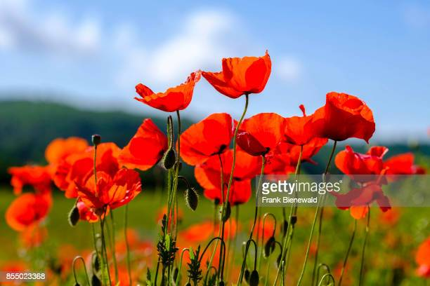 MONTERIGGIONI TUSCANY ITALY A close up of blossoms in a field of red poppies in Chianti
