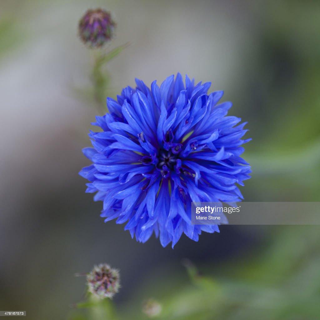 Close up of blue cornflower : Stock Photo